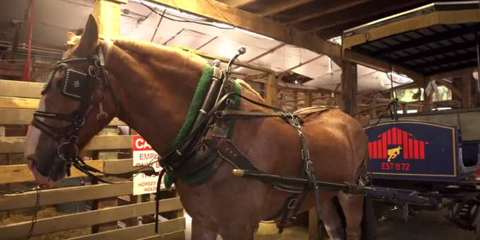 A Day In The Life Of A Charleston Carriage Horse - Charleston FYI